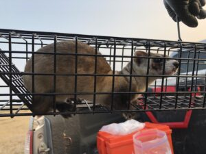 Black-footed Ferret ready fro release after vaccination